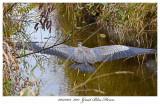 20171103  7011  Great Blue Heron.jpg