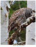 20171123  8239  Barred Owl.jpg