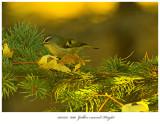 20171115  8190  Golden-crowned Kinglet.jpg