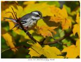 20171107  8036  Black-throated Gray Warbler.jpg