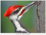 20160517  6365  Pileated Woodpecker.jpg