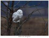 20171201  8321  Snowy Owl.jpg