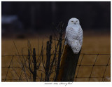 20171201  8364  Snowy Owl.jpg