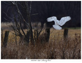 20171201  8391  Snowy Owl2.jpg