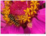 20171023  6227 Common Tiger Hoverfly.jpg