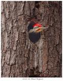 20171106  7618  SERIES - Pileated Woodpecker.jpg