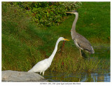 20170923  2301 2302  Great Egret and Great Blue Heron.jpg