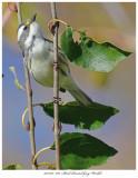 20171107  7881  Black-throated Gray Warbler xxx.jpg