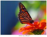 20171023  6354  Monarch.jpg