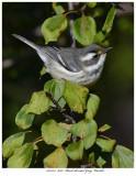 20171115  8098  Black-throated Gray Warbler.jpg