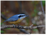 20171103  7059 Red-breasted Nuthatch.jpg
