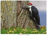 20170917  1693  Pileated Woodpecker.jpg