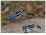 20171103  7041 Red-breasted Nuthatch r1.jpg