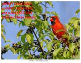 20170818-1  9246 Northern Cardinal, Xmas greeting.jpg