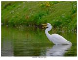 20170725  7160  Great Egret.jpg
