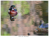 20160525  9042  Wood Duck.jpg