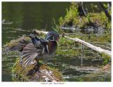20160525  9961  Wood Duck.jpg
