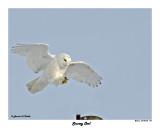 20150106 193 Snowy Owl 1r1.jpg