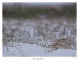 20160126 007 Snowy Owl r1.jpg