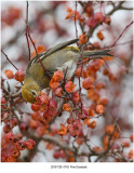 Pine Grosbeak r1.jpg