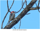 Red-bellied Woodpecker r1.jpg