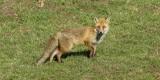 Renards - Füchse - Foxes