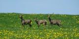 Chevreuils - Rehe - Roe deer