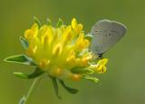 Dwergblauwtje - Little Blue