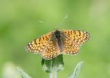 Veldparelmoervlinder - Glanville Fritillary