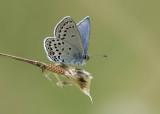 Veenbesblauwtje - Cranberry Blue