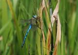Dragonflies - Libellen