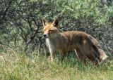 Fox - Vos