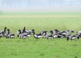 Red-breasted Goose and Black Brant, Roodhalsgans en Zwarte Rotgans