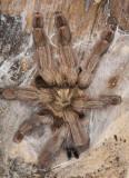 Panama Blonde Tarantula (Psalmopoeus pulcher)