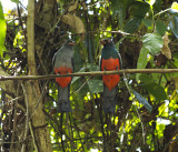 Slaty-tailed Trogons (Trogon massena)