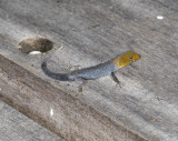 Yellow-headed gecko (Gonatodes albogularis)