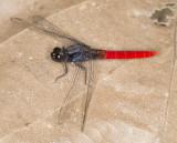 Flame-tailed Pondhawk (Erythemis peruviana(?))
