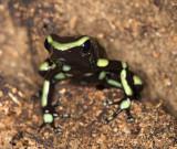 Green-and-Black Poison Dart Frog (Dendrobates auratus) 50