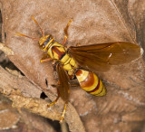 Wasp with broken wing