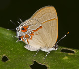 Dusky-blue Groundstreak (Calycopis isobeon) 50