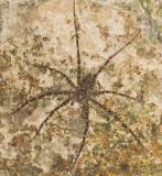 Nursery Web Spider (Dolomedes?)