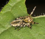 jumper with yellow pedipalps 50