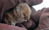 Vole from Compost Bin