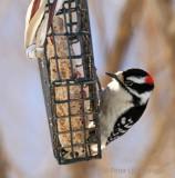 Downy on feeder