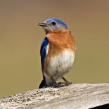 Bluebird defending box