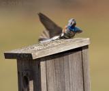 Swallow dive-bombing the bluebird