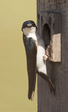 Swallow Looking