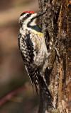 Yellow-bellied sapsucker female