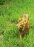 Lion in small zoo