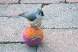 Tufted Titmouse Trying Tennis